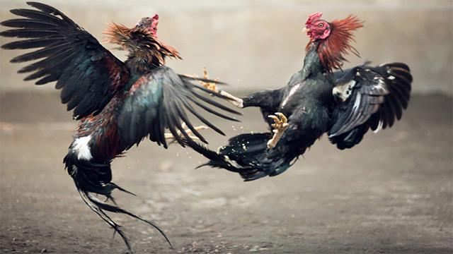 Keuntungan Bermain Judi Sabung Ayam Online